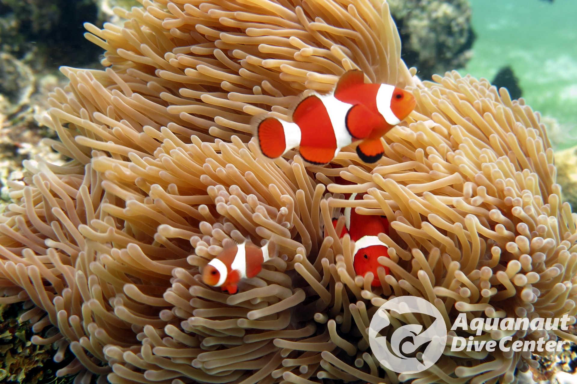 False Clownfish spotted in South Entalula, El Nido