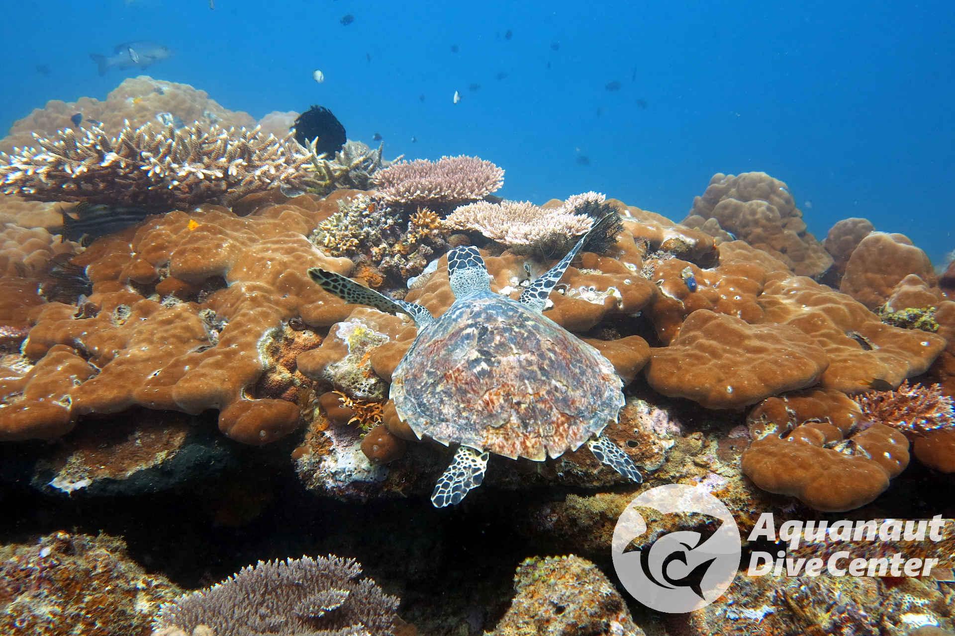 Hawksbill Turtle spotted in West Entalula, El Nido