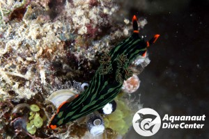 Nembrotha Nudibranch spotted in North Rock, El Nido