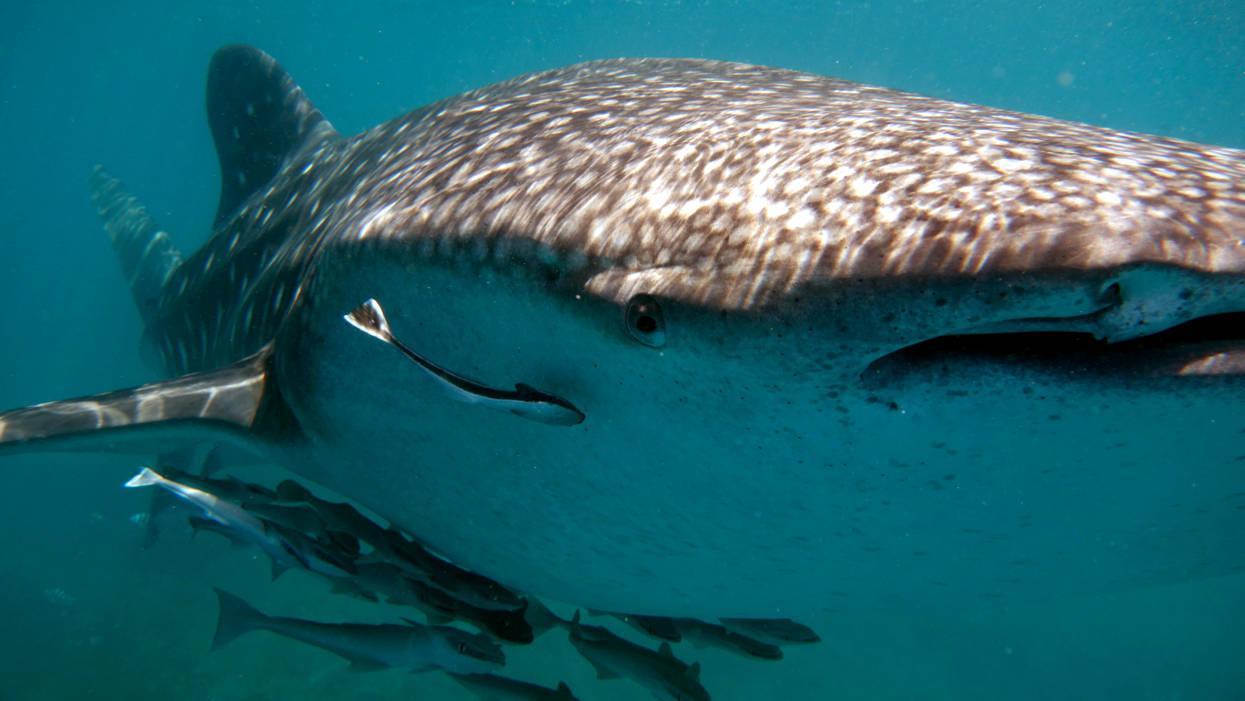 Whale shark in El Nido, Entalula Island