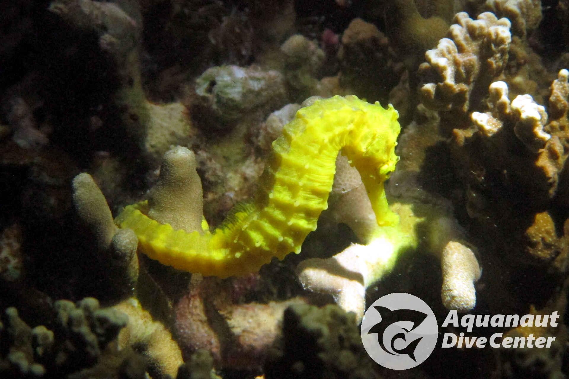Seahorse found in Nat Nat, El Nido