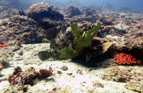 Potato grouper spotted in Sout Miniloc, El Nido, Philippines