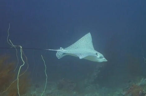 Eagle Ray, El Nido, Palawan